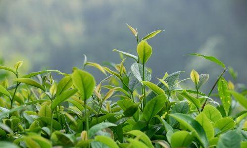 green tea (4)