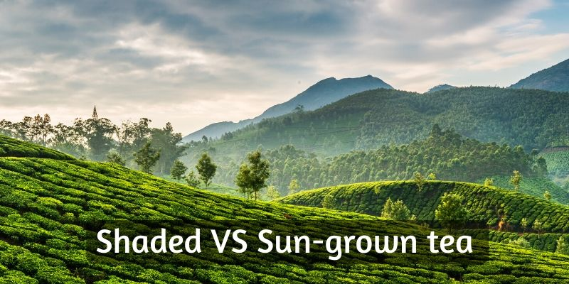 Shade Grown VS Sun Grown Tea – 4 Crucial Differences