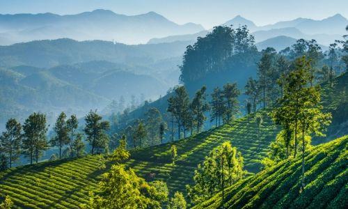 shaded sun tea (4)
