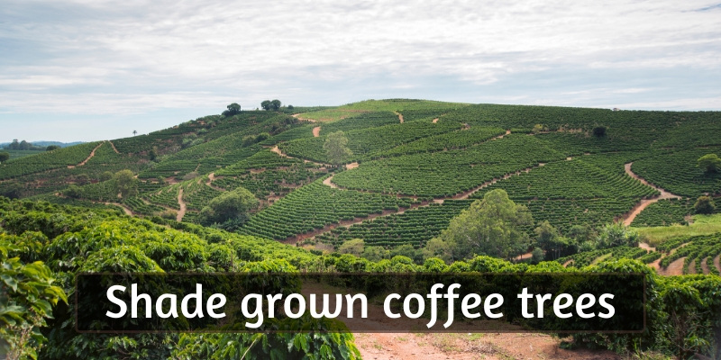 Beginner's Guide To Shade Grown Coffee